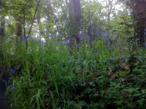 and the bluebells!