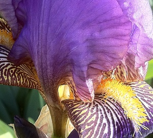 The light catching an iris showing off its magnificent bee attracting patterns.