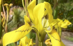 the yellow 'flag' iris, another one I found on my way to the sky scape.