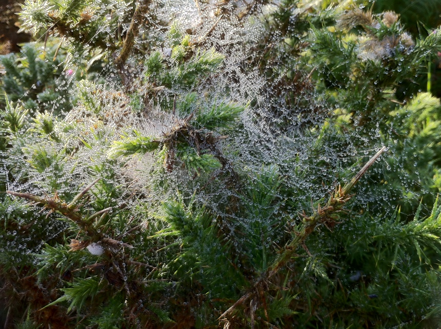 web-covered gorse catching the early morning light