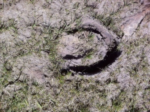 A hoof-print divot made when the mud was soft, now baked solid.