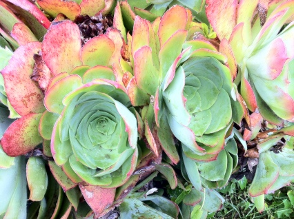 flowering succulents growing in the hedgerow in the south.
